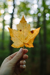 my favorite season is back (thisemily) Tags: autumn fall leaves leaf maple yellow woods forest nature hand bokeh 35mmf14 newhampshire newengland quotes emerson walkinginnature walks walksinthewoods