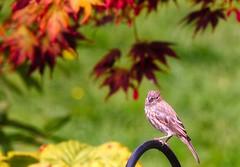 Sweetness, Light & Coloured Leaves (robinlamb1) Tags: bird animal outdoor nature finch housefinch female japanesemapleleaves hostaleaves bokah depthoffield backyard garden autumn