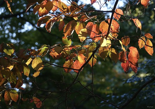 """Kousa Dogwood Tree Leaves • <a style=""""font-size:0.8em;"""" href=""""http://www.flickr.com/photos/52364684@N03/30035081820/"""" target=""""_blank"""">View on Flickr</a>"""