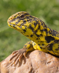 Uromastyx Lizard (Jorge Ibarra L.) Tags: lizard lagarto reptile reptil animal uromastyx