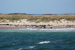 Gray Seals (Seth J Dewey Photo) Tags: massachusetts sethjdeweyphotography shore seal animal marinemammal cape cod chatham capecod