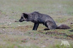 Focused (fascinationwildlife) Tags: animal mammal silver red fox rotfuchs wild wildlife nature natur field hunt hunting rabbit focused silberfuchs cross pred predator female