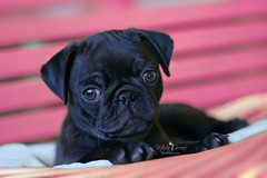 pearl (Victoria Greene Photography) Tags: dog pug black animal pet cute pink basket blur bokeh nature fall