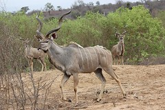 Kudu / Koedoe (Pixi2011) Tags: antelope nature krugernationalpark allnaturesparadise