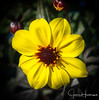 Yellow Fall Beauty (jhambright52) Tags: macroflowers macro yellowmacroflower doublefantasy