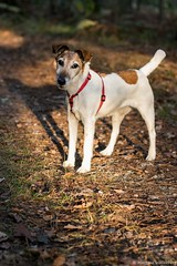 Alliath (Morgane_W) Tags: chien dog smooth fox terrier animal fort automne canon80d