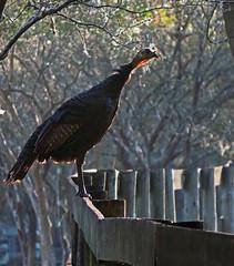 it's almost that time of year again... (al-ien) Tags: mymorningwalk turkey nature wildlife fenceline fence bird floridabirds
