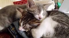 2015- Pam & Violet 01 (teresamarkos) Tags: violet pam cat cats kitten kittens felines feline