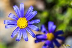 PurpleYellowcenter.jpg (raysul) Tags: flower macro floralart flowerphotography closeup depthoffield decorative beautyinmacro