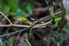 Green Vine Snake (subhramani) Tags: snake greenvinesnake vinesnake reptiles herpetology subhramani westernghats coorg iruppufalls
