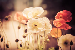 Delicate (Carrie McGann) Tags: poppies orange cream ivory flowers calabasas 040616 nikon interesting