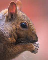MH_108 | Close to nature, or nature too close? ( Ed Lee) Tags: nikon 7100 200500 56e animal chipmunk squirrel closeup color bokeh contrast cute hair portrait depthoffield backyard fur mammal food reflection