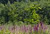 ckuchem-3690 (christine_kuchem) Tags: abholzung baum bienenweide blumen bäume fingerhut holzwirtschaft laubwald lichtung pflanzen spontanvegetation vegetation wald waldlichtung wildblumen wildpflanze wild