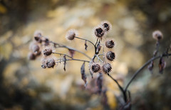 (jakub.sulima) Tags: nikon d7000 nikkor 50mm 18 flower flowers wild wildlife plant plants blossom dry sad forest bokeh bokehlisious colours colorful pale yellow brown grey orange black dark gold golden poland polish burdock lappa fall autumn