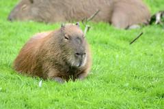 Capybara im Dartmoor Zoological Park (Ulli J.) Tags: zoo grosbritannien storbritannien greatbritain grandebretagne grootbrittanni royaumeuni verenigdkoninkrijk vereinigtesknigreich unitedkingdom uk england engeland angleterre southwestengland devon sparkwell southhams dartmoor dartmoorzoologicalpark capybara wasserschwein kapivar fodsvin grandcabia grandcochondeau grandhydrochre capibara waterzwijn