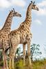 Les deux majestueuses. (Nona P.) Tags: green wild wildlife nature sauvage animal animals afriquedusud liberté freedom canon nonap girafe giraffe