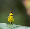 COLLARED REDSTART (Costa Rica Nature & Astro Photo) Tags: coloredredstart myioborustorquatus avesdecostarica birdsofcostarica beltranlara
