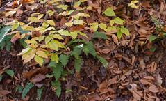 Prince William Forest Park (runeurope) Tags: princewilliamforestpark 2016 november fern leaves blätter herbstblätter farne herbstfärbung fallcolor fernsandleaves