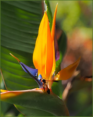 PB021926 e1 MF fr (David W Geddes) Tags: potterwasp sansebastian lagomera strelitziaregina birdofparadiseflower
