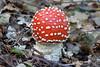 Fliegenpilz (ralfkrutz) Tags: pilze wald natur fliegenpilz mushrooms fungus fungi