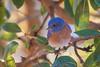 Western Bluebird (Becky Matsubara) Tags: richmond california unitedstates us westernbluebird bluebird sobranteridge sobranteridgeregionalpreserve sialiamexicana