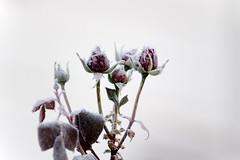 DSC01442 (Michael Rasmussen) Tags: winter flower flowers wabisabi michaelrasmussen minoltaamount amount sonya99 sonyalpha sony minolta300mmf4 denmark danmark holbaekdenmark holbækdanmark