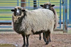 0U1A2767 NM Farm & Ranch Heritage Museum (colinLmiller) Tags: 2016 newmexico farmandranchheritagemuseum sheep merino debouilet churro