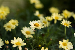 Margerite (marcmayer) Tags: blume margerite bokeh nikon d5200 nikkor 50mm f18 flower daisy