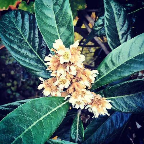 Flores de níspero