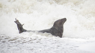 Grey seal in the surf