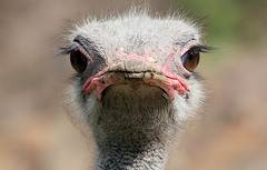 Pea-Brained (Ger Bosma) Tags: 2mg132522filtered struisvogel struthiocamelus commonostrich ostrich afrikanischerstraus autruchedafrique avestruz struzzo head face facing portrait eyes closeup close veryclose funny