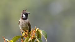 Himalayan Bulbul (Dr. Farhan) Tags: himalayan bulbul bird wildlife crown munal