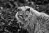 Rita (Jaime Recabal) Tags: canon 40d recabal sigma monochrome blancoynegro blackandwhite cat mascota gato