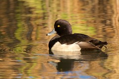 On golden pond (redmanian) Tags: tufted duck