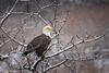 Sentry (rishaisomphotography) Tags: raptor kodiak alaska feathers wild wildlife wildlifephotography nature naturephotographer snow white tree branches baldeagle birdofprey