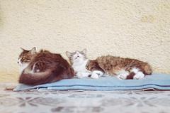 Metralhas (dvasconcellos27) Tags: exakta zeiss slr analog filmisnotdead filmisalive filmphotography kodak colorplus capucho riodejaneiro brasil brazil cat catportrait pet animal