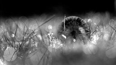 Fallen (ursulamller900) Tags: helios442 mushroom pilz bw bokeh droplets