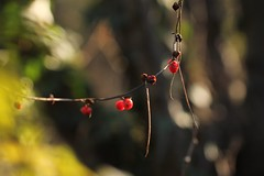 Luci di Natale. (SimonaPolp) Tags: december fall wood forest berries light sunlight bokeh foliage autumn red green leaves macro macronature nature tree plant