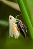 Chrysalide (◄Laurent Moulin photographie►) Tags: chrysalide metamorphose insecte insect photo photographie macro macrophotographie macrophotography raynox dcr 250 jardin
