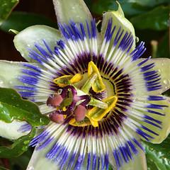 Passion flower (STEHOUWER AND RECIO) Tags: passionflower passion flower passiebloem passiflora passionvine passiflorceae bloem flora bulaklak blue white yellow macro beautiful