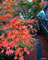Maple leaves (2) (dxm8975) Tags: autumn nature beauty japan maple leaves trees