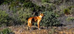 Wild DINGO (Lani Elliott) Tags: dingo wilddingo canislupusdingo australianwildlife nature naturephotography bush landscape wilddog australianwilddog dog