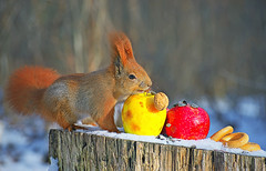 Walnut for squirrels (rgbshot72) Tags: yellow park trees red forest winter color sun animals tree beautiful closeup animal snow apples food walnut squirrels bagels nikon d800e