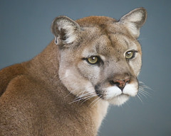 Lovely Koya in the Soft Light (Penny Hyde) Tags: bigcat cat mountainlion sandiegozoo flickrbigcats