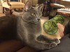 Leo Likes Me (Philosopher Queen) Tags: leo cat chat gato kitty buecat graycat cute