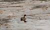 Northern Pintail (EHPett) Tags: whalebonecreek connecticut connecticutriver waterfowl bird animal wildlife outdoor