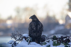 Winter 2017 (kellimatthews) Tags: winter snow outside outdoors oregon pnw hawk dof raptor birdsofprey sunrise pond
