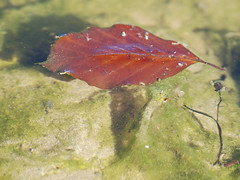 take a swim (batuk_bhagwan (Manos)) Tags: autumn leave nature closeup landscape olympuse330 olympus70300