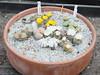 DSCF0416 (BobTravels) Tags: plant stone bob lithops lithop messem bobwitney