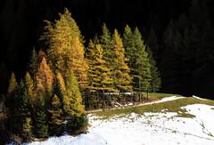 Lärchenglühen (mikiitaly) Tags: herbst südtirol pfitschtal lärchenwald lärchen
